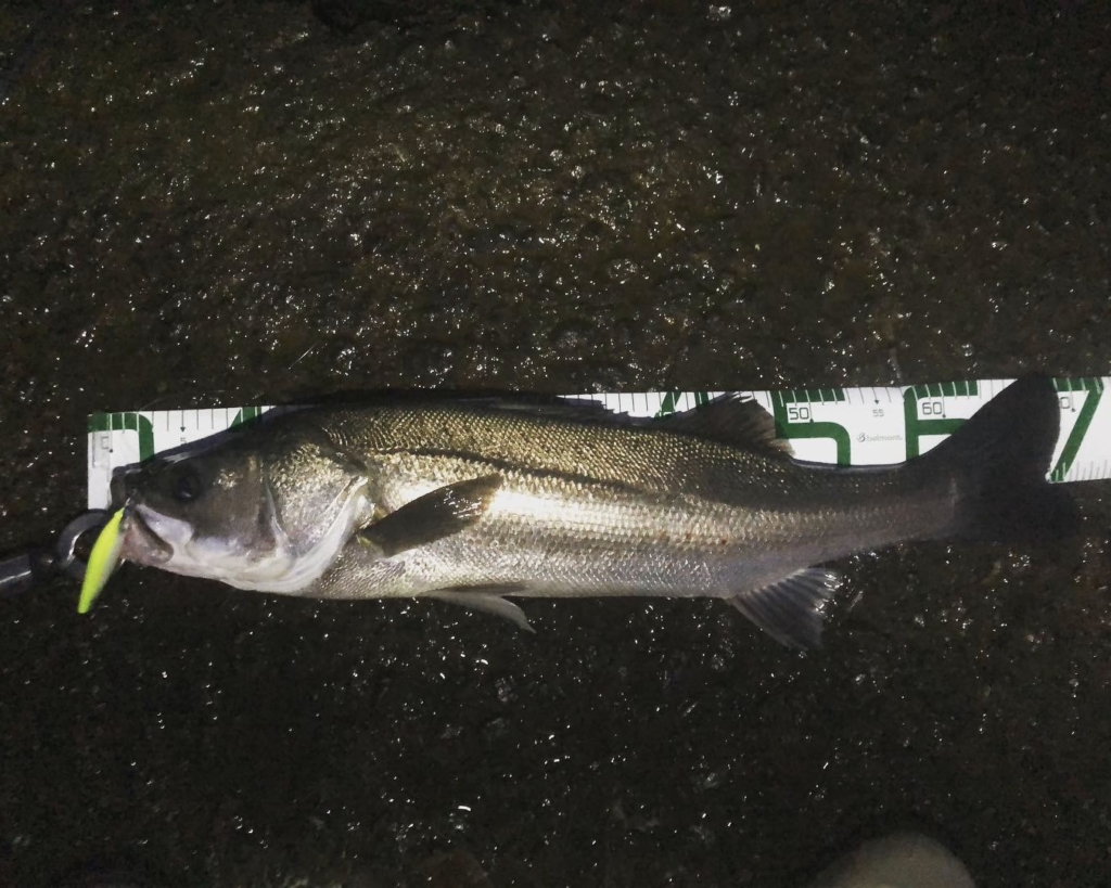 シーバス 海釣り ルアー スズキ 魅力 初心者 ビギナー でも釣れる 楽しい