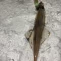 秋田 男鹿 ヤリイカ 釣り 海釣り 電気ウキ 2点発光 テーラー スッテ どうやる やり方 釣り方